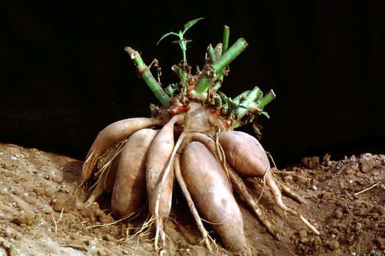 what yacon root plant looks like