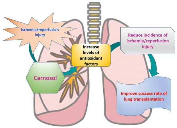 diagram of how carnosol might help lung transplant patients