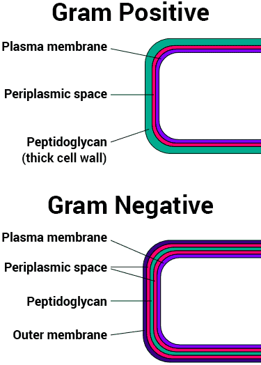 difference between gram positive and gram negative bacteria