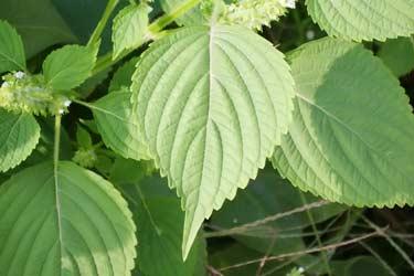 Perilla frutescens leaves