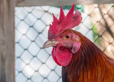 rooster comb