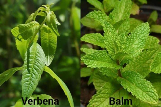 difference between lemon verbena vs. lemon balm appearance