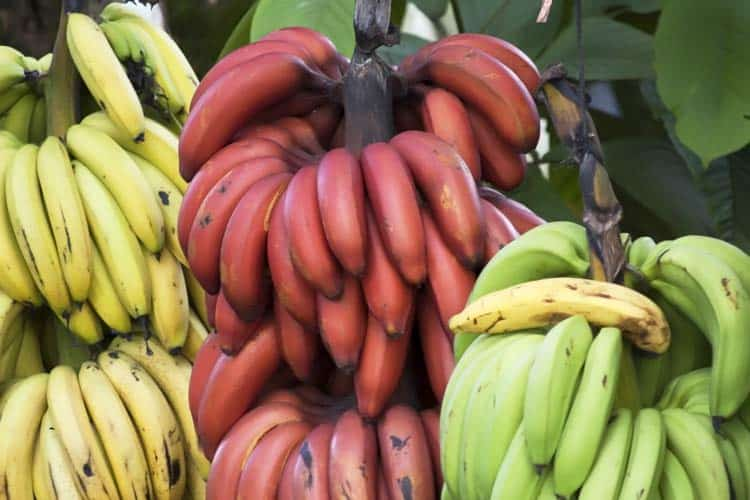 hands of yellow, red, and green bananas