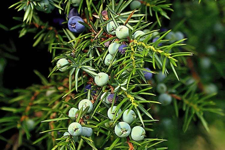 blue and green juniper berries on tree branch