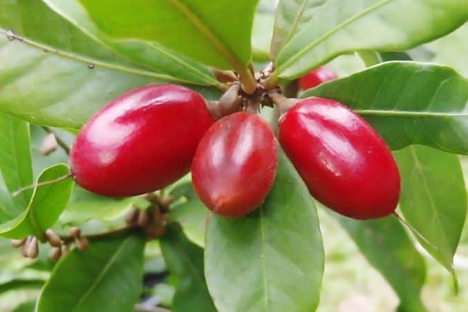 fresh miracle fruit