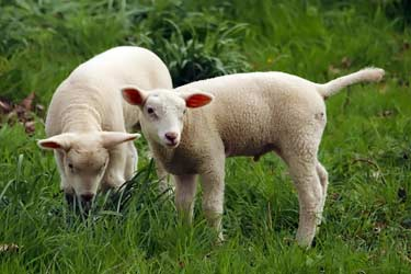 baby lambs in pasture eating grass