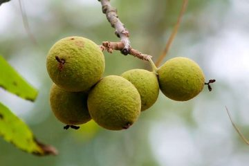 black walnuts with green hulls