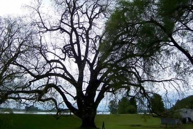 largest black walnut tree in existance