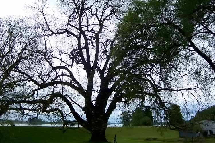largest black walnut tree in existance