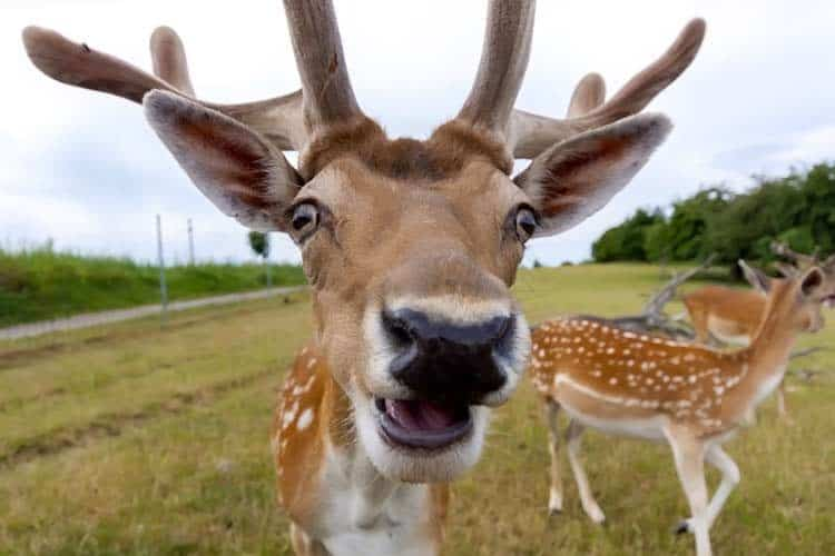 close-up photo of face on white-tailed deer