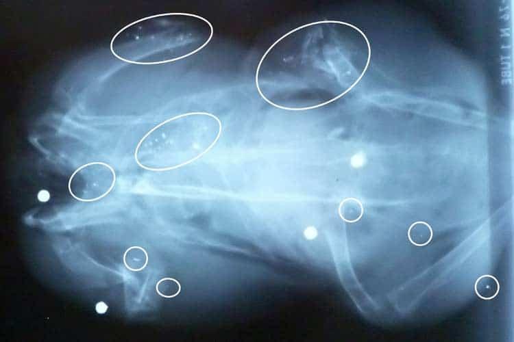 Radiografía que muestra pellets de escopeta de plomo en pájaro paloma de madera
