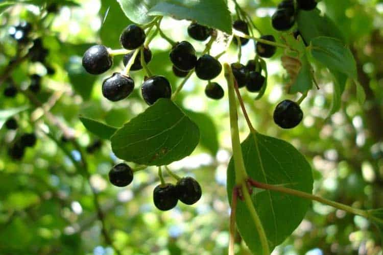 Maqui Berry Benefits For Weight Loss Dry Eyes Anti Aging