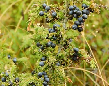 blue juniper berries on bush