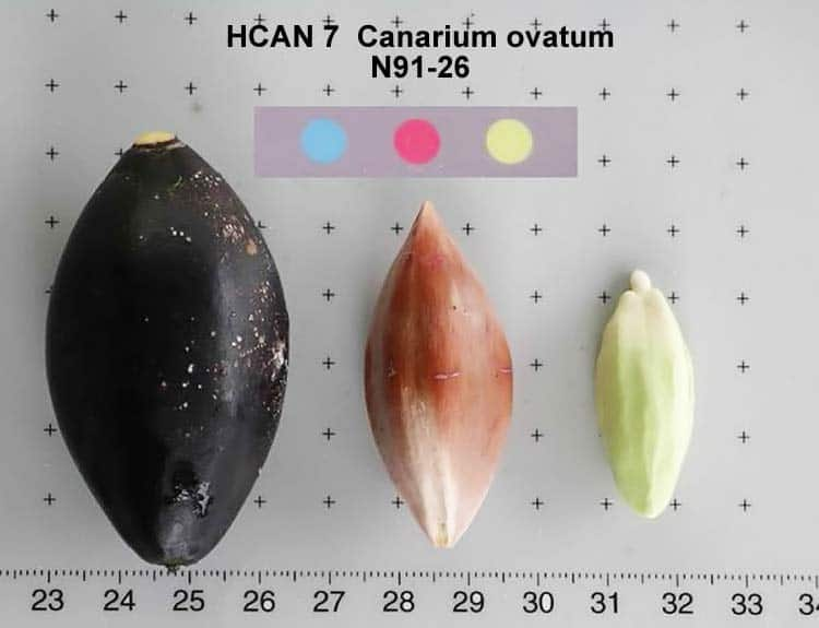 Canarium ovatum shell, kernel, and nut