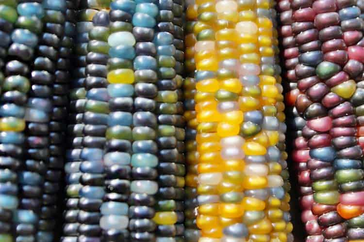 ears of red, yellow and blue corn