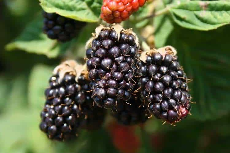 Marionberry Vs Blackberry 7 Health Benefits Amp Nutrition Facts