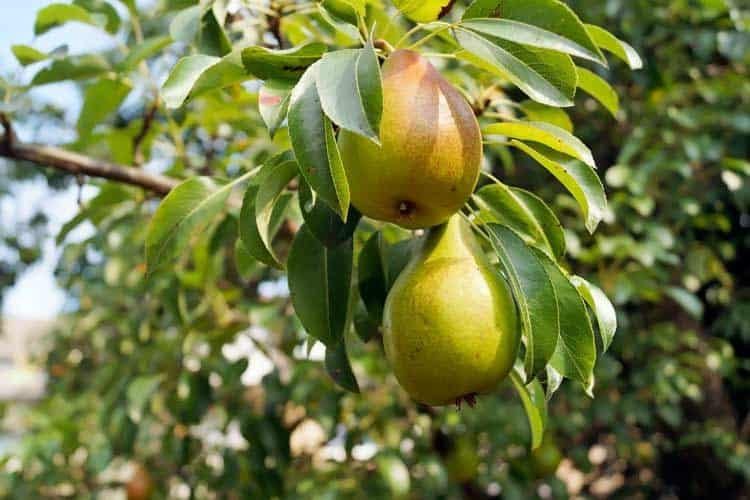 pears hanging on tree