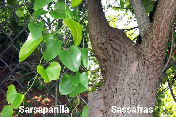 visual difference in sarsaparilla vs. sassafras plants