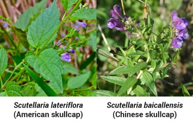 differences and similarities between American and Chinese skullcap herb