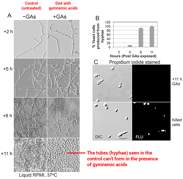 microscopic images of gymnema for candida yeast treatment