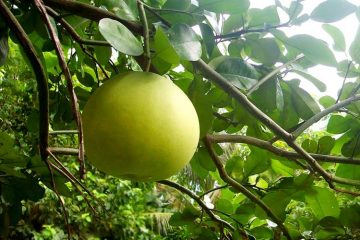 ripe pomelo growing on tree branch with leaves