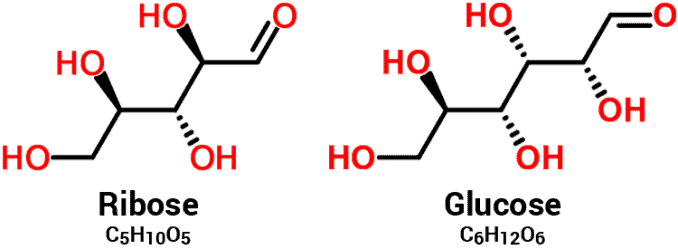 molecular structures and chemical formulas for D-ribose and sugar (glucose) compared