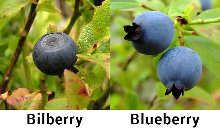 difference between bilberry vs. blueberry