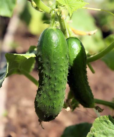 fresh cucumbers hanging on vine of plant in garden
