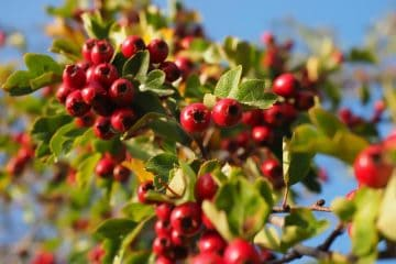 fresh raw European hawthorn berries on tree (Crataegus monogyna)