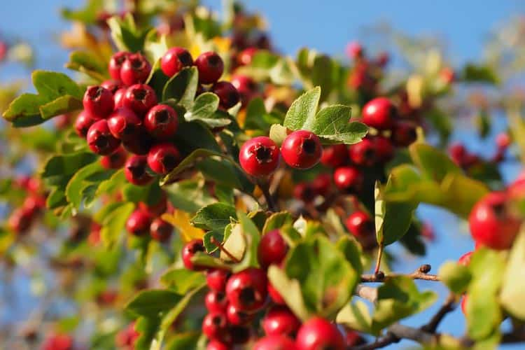 fresh raw European hawthorn berries on tree (Crataegus monogyna)