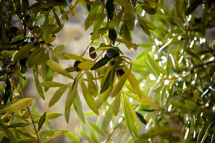 olive tree with branch of fruit and leaves in sunlight
