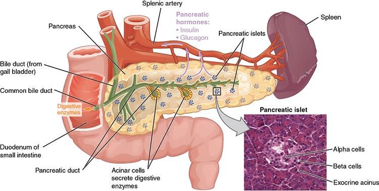 diagram of human pancreas parts and functions