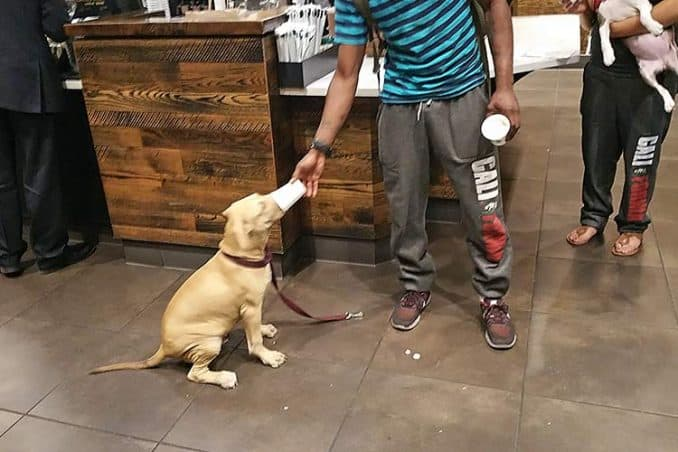 man giving Puppuccino to dog in Starbucks