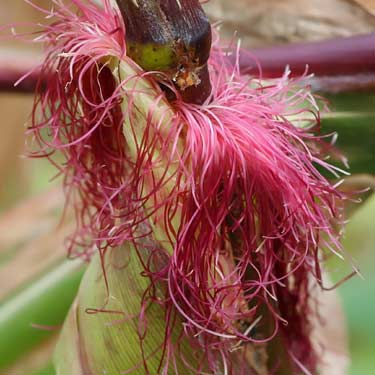 purple corn silk