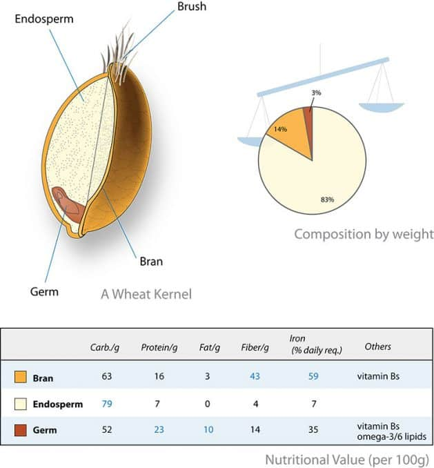 diagram of parts retained in whole wheat and similar cereal grains