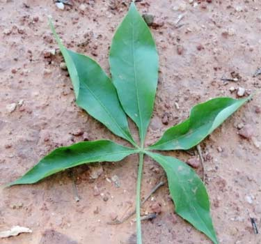fresh raw baobab leaf