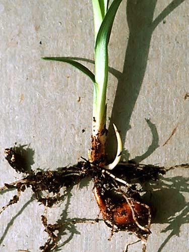 Cyperus esculentus plant tuber