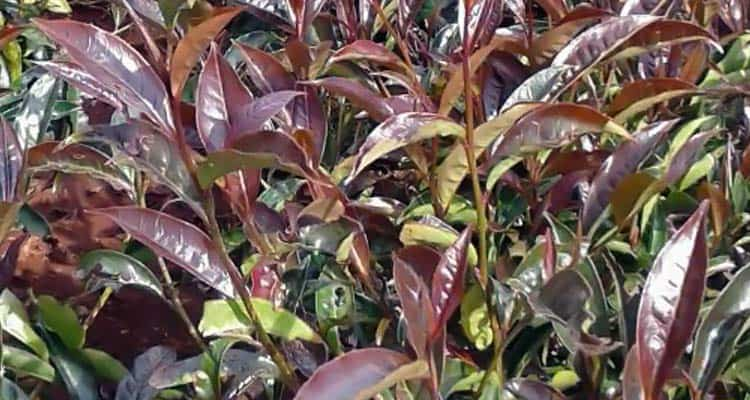 purple tea plants with crimson leaves growing on Mount Kenya