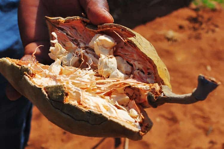 inside of fresh baobab fruit