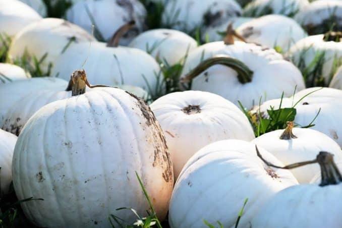 ghost pumpkins in field