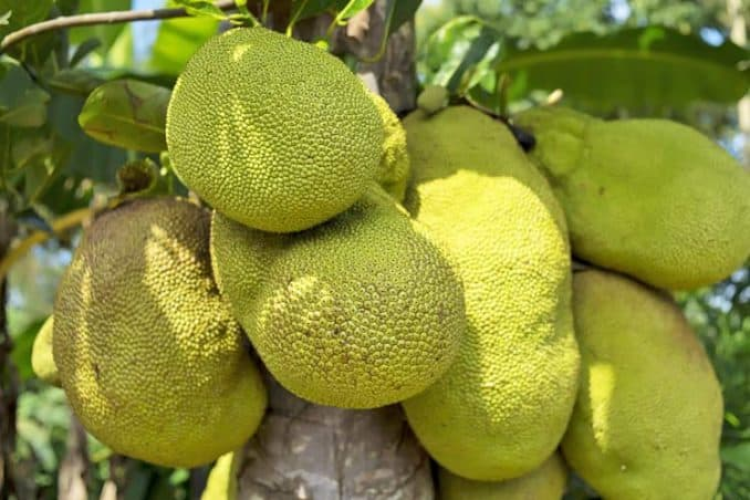 green jackfruit growing on tree
