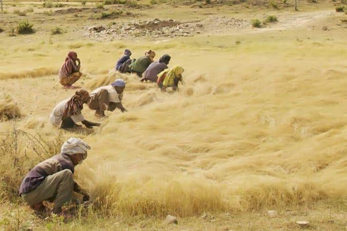 Ethiopian men and women harvesting teff grain by hand in field
