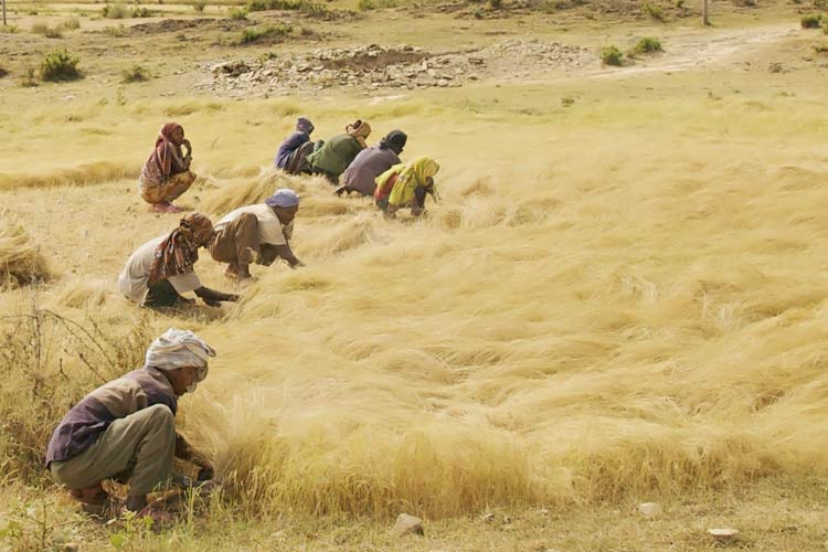 Ethiopian men and women harvesting teff grain by hand in field