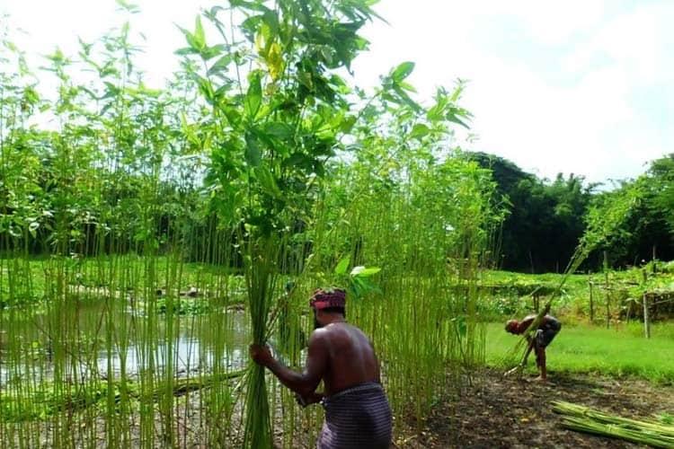 Corchorus olitorius crop being harvested