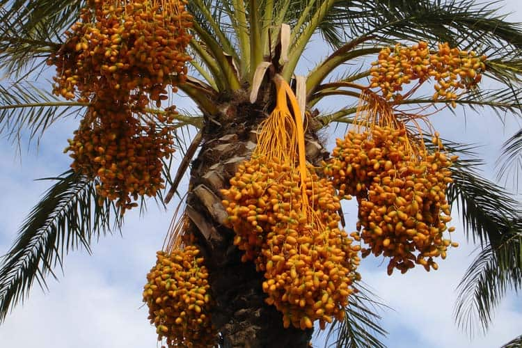 clusters of fresh raw dates hanging on palm tree