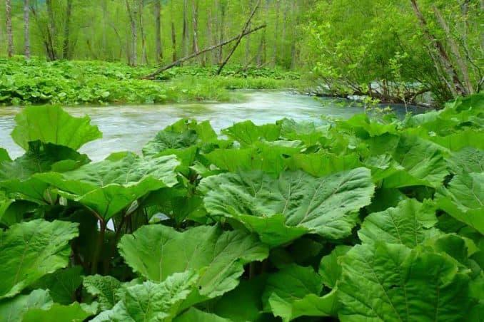 wild Petasites hybridus plants growing along stream