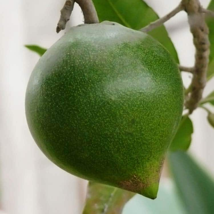 lucuma fruit hanging on tree