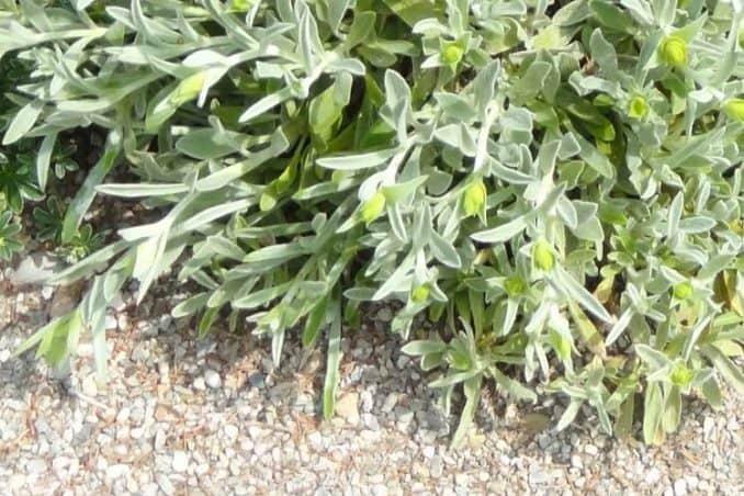 ironwort plant