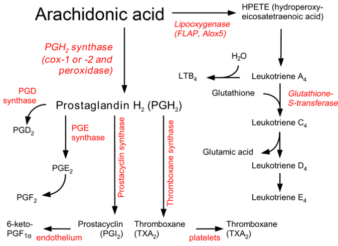 how prostaglandins and leukotrienes are made from arachidonic acid