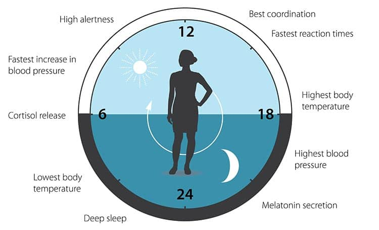 circadian cycle events in humans during 24 hour period